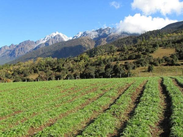 玛咖种植管理 优越的环境