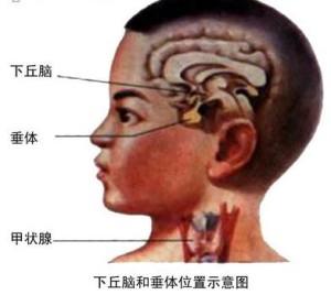 下丘脑—脑垂体系统示意图