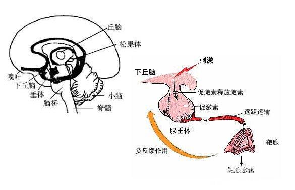 下丘脑—脑垂体系统 作用图