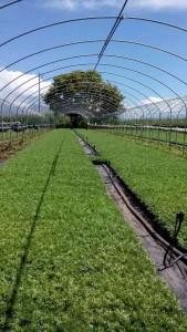 雪鼎玛咖种植基地