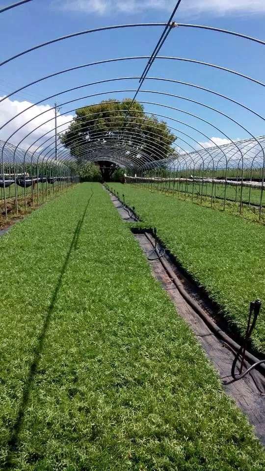 玛咖种植基地