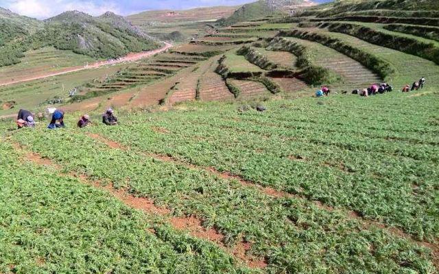 玛咖种植条件