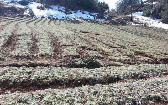冬季玛咖收获时
